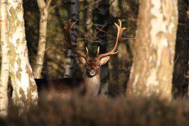 Deer looking through the trees